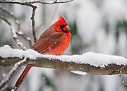 The Northern Cardinal (Cardinalis cardinalis) is a North American bird also known colloquially as redbird or common cardinal. It can be found from southern Canada, through the eastern United States and south to Mexico. It prefers woodlands, gardens, shrublands, and swamps.  The Northern Cardinal has a body length of 8-9 inches and a wingspan of 10-12 inches.  The male is a vibrant red, while the female has a dull red-brown splotchy plumage. The Northern Cardinal is mainly granivorous, but also feeds on fruit or insects.  The cardinal was once prized as a pet, but its sale as cage birds is now banned in the United States by the Migratory Bird Treaty Act of 1918.  This particular male Northern Cardinal is enduring a winter blizzard in Belmont, Massachusetts.
