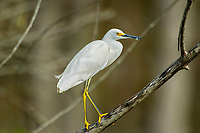 Snowy Egret (Egretta thula) perched in tree, Arthur C Marshall Wildlife Reserve, Loxahatchee, Florida.   Photo: Peter Llewellyn