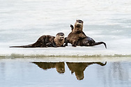 River Otters (Lutra canadensis) preening along lake in Southcentral Alaska. Spring. Afternoon.