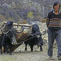 CHINA, TIBET, Tsangpo Gorge. Villager uses yaks to drag logs for bulding construction in Kykar.