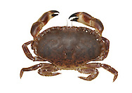 Edible Crab - Cancer pagurus