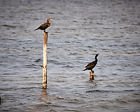 Pair of Double-crested Cormorant. Biolab Road, Merritt Island National Wildlife Refuge. Image taken with a Nikon D3x camera and 300 mm f/4 lens (ISO 400, 300 mm, f/5.6, 1/1250 sec).