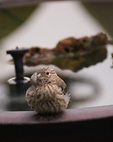 House Finch. Image taken with a Fuji X-T4 camera and 100-400 mm OIS lens.
