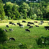Europe, Portugal, Azores. Cows and pastural landscape of Ponta Delgada, Azores.