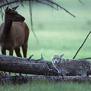 Elk, (Cervus elaphus) cows corner coyote (Canis latrans) who is too close to calves. Coyote hides behind fallen log. Summer.