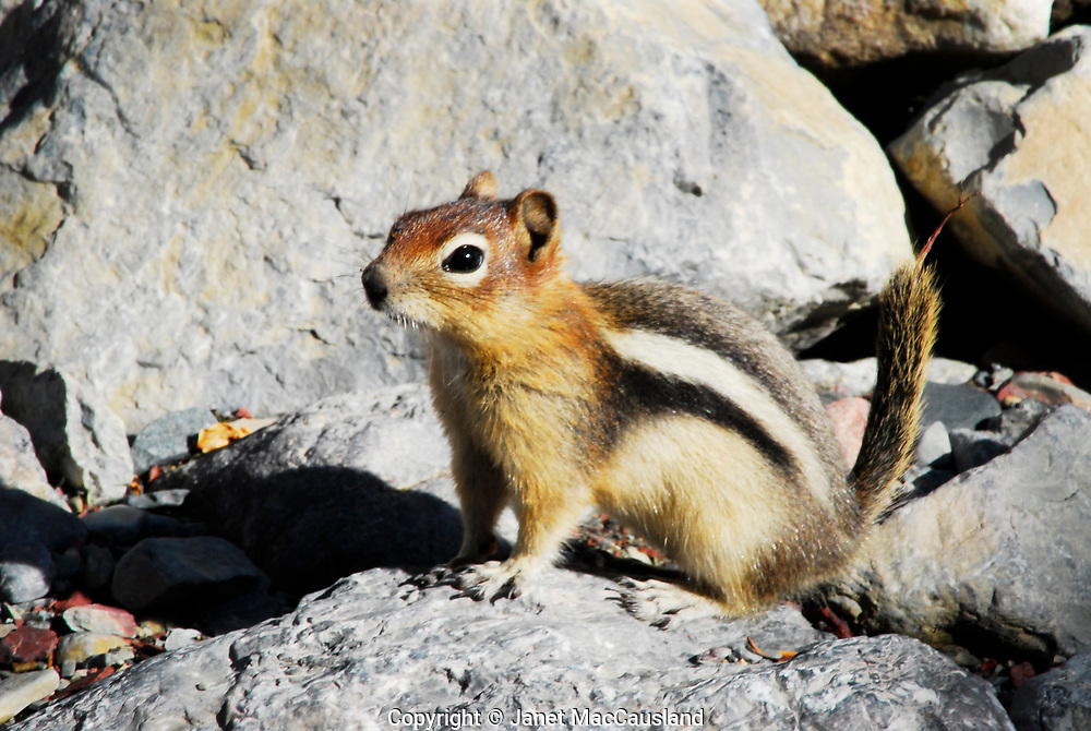 This little, striped ground squirrel came down to the Red Rock River for a of water where I was photographing. It was very nimble as it leaped from rock to rock. I believe it is a Golden Mantled Ground squirrel.