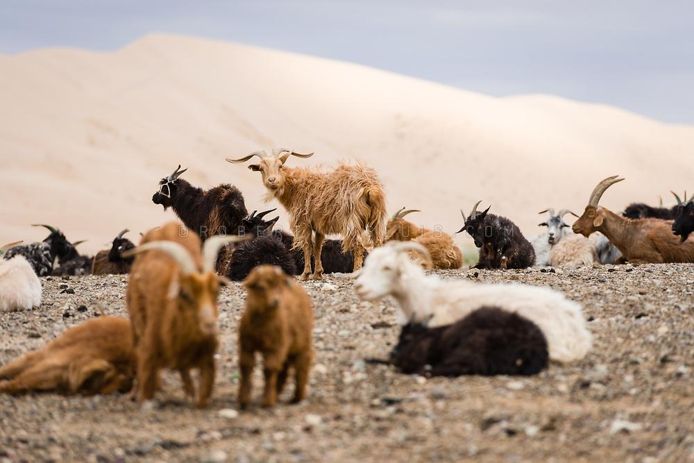 Goats near the Khongoryn Sand Dunes, Gobi Desert, Mongolia. Photo © Robert van Sluis - www.robertvansluis.com