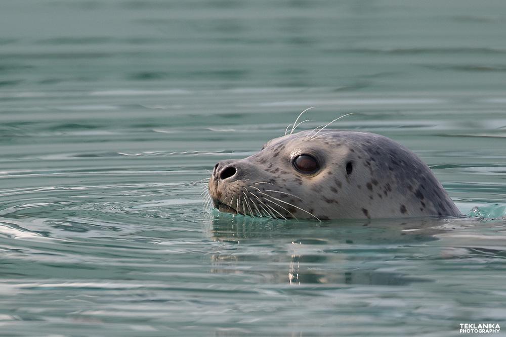 An Alaska Harbor Seal surfaces in Resurrection Bay.