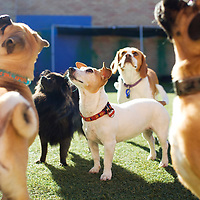 Expectant dogs; Jack Russel, Poodle, Pug, Pomeranian and Beagle at Doggy Day Care and Grooming