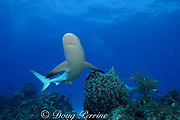 Caribbean reef sharks, Carcharinus perezi, on coral reef with barrel sponges, Agelas clathrodes, and red rope sponges, Bahamas ( Western Atlantic Ocean )