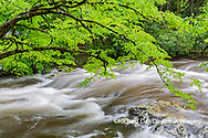66745-04802 Middle Prong Little River in spring Great Smoky Mountains National Park TN