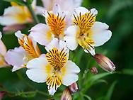 Alstromeria 'Apollo', (Peruvian Lily) at Stockton Bury Gardens, Kimbolton, Leominster, Herefordshire, UK