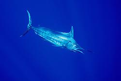 blue marlin, Makaira nigricans, off Kona Coast, Big Island, Hawaii, USA, Pacific Ocean (dm)
