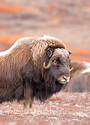 Alaska. Portrait of a bull Muskox (Ovibos moschatus) on guard for other bulls and herd predators during the autumn breeding season on the Seward Peninsula, outside of Nome.