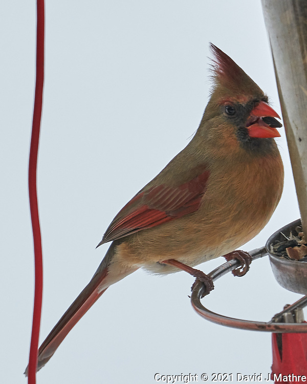 Northern Cardinal (Cardinalis cardinalis). Image taken with a Leica SL2 camera and Sigma 100-400 mm lens.