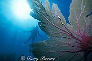 flamingo tongue snails, Cyphoma gibbosum, feeding on sea fan, Gorgonia ventalina, Key West, Florida Keys ( Western Atlantic Ocean ) Florida Keys National Marine Sanctuary MR 73