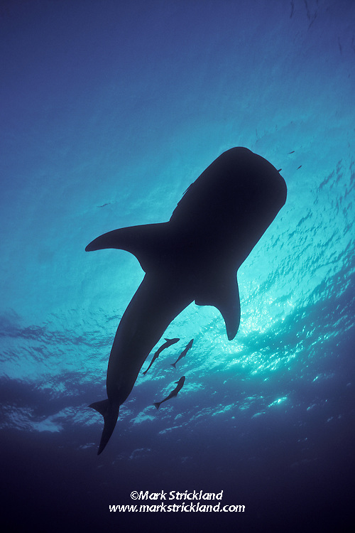 The unmistakeable silhouette of a Whale Shark, Rhincodon typus, often the first view a diver gets while looking up from the bottom. Richelieu Rock, Andaman Sea, Thailand.
