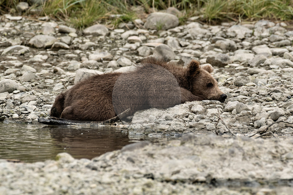 A brown bear spring cub rests half out of the water at the McNeil River State Game Sanctuary on the Kenai Peninsula, Alaska. The remote site is accessed only with a special permit and is the world's largest seasonal population of wild brown bears in their natural environment.