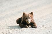 Brown bear cub on road , Highway Pass, Denali National Park.