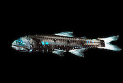 [captive] Lepidophanes guentheri, a species of the large group of lanternfish (or myctophid, family Myctophidae, 246 species, mykter = Greek for 'nose' and ophis for 'serpent') shows a pattern of paired light-producing cells (photophores) located along the ventral sides and at the head. They serve to mask the fish by counterillumination and are used in intraspecific communication (shoaling, courtship). This rather small deep sea fish species (adult approx. 8 cm) performs diurnal vertical migrations: during daylight hours it can be found at depths of > 400m, at night it ascends to < 100 m. Its habitat is therefore the mesopelagic (or twilight) zone. The widely distributed and numerous species of the family of lanternfish account for a great part of the overall biomass of deep sea fish: about  65%. As such they play an important ecological role as prey species for all kinds of larger marine vertebrates (fish, sea birds, marine mammals).