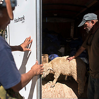 Stanley Perry, Rob Eldridge and Solaris Collymore load a sheep in the back of a trailer Sunday in Gallup to bring up to the pipeline protest camp in Standing Rock, North Dakota to perform a butchering demonstration.