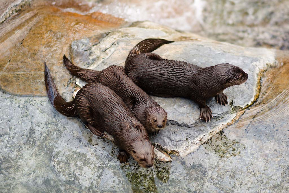 Three otters at the San Diego Zoo