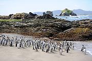 Últimos del mundo / Pingüinos de Magallanes / Chiloé / Chile.<br /> <br /> Edición de 10 | Víctor Santamaría.