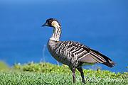 nene or Hawaiian goose, Branta sandvicensis ( endemic species ), the world's rarest goose, Princeville, Kauai, Hawaii, Hawaiian Islands, U.S.A.