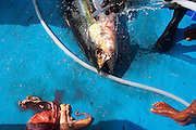 Hosing down a freshly-killed line caught yellow fin tuna fish on the blue deck of a traditional dhoni fishing boat, Maldives