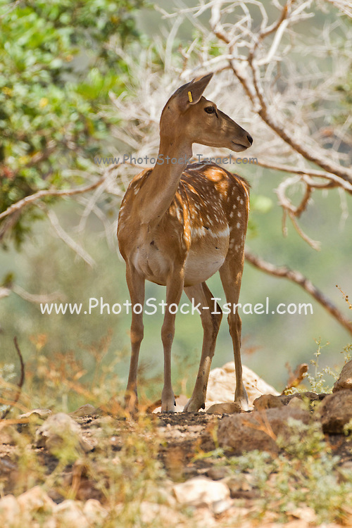 Female Mesopotamian Fallow deer (Dama mesopotamica) Photographed in Israel Carmel forest in August