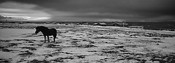 Horse in Grimsey, north of Iceland - Hestur  í Grímsey