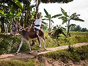 21 NOVEMBER 2010 - LEOGANE, HAITI: A boy rides his donkey on a trail in Leogane, Haiti, about 40 miles from Port-au-Prince. PHOTO BY JACK KURTZ