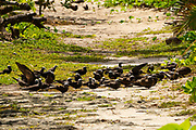Flock of Lesser noddy (Anous tenuirostris), Photographed on Bird Island, Seychelles in September
