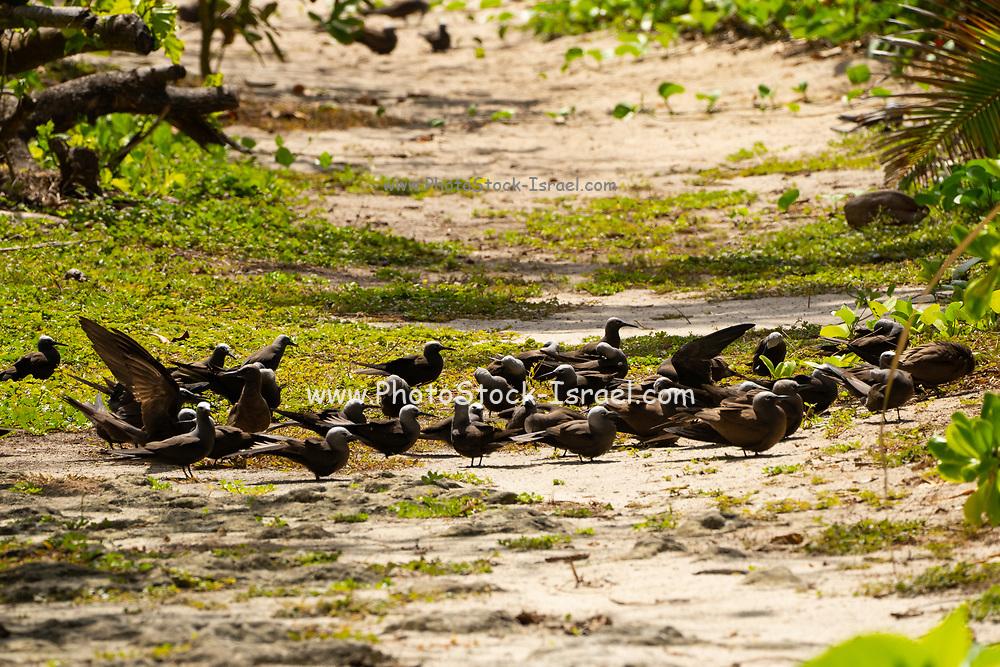 Flock of Lesser noddy (Anous tenuirostris), Photographed on Bird Island, Seychelles in September