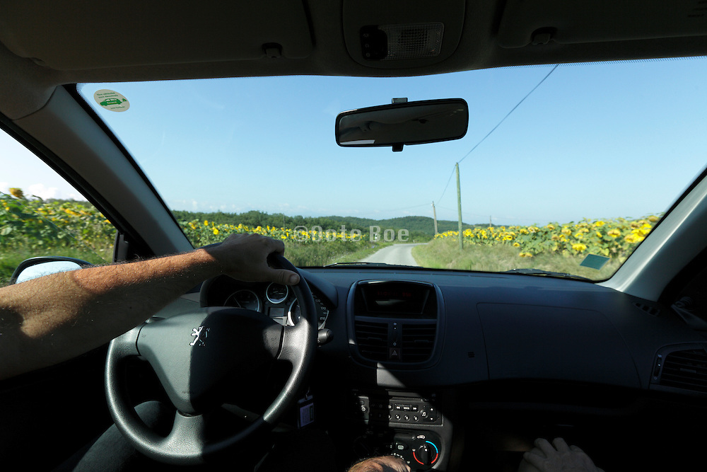 driving with a car along a with sunflower planted recreation road