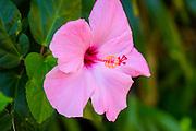 Hibicus, Hawaii