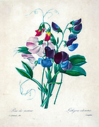 19th-century hand painted Engraving illustration of sweet pea (Lathyrus odoratus) flowers, by Pierre-Joseph Redoute. Published in Choix Des Plus Belles Fleurs, Paris (1827). by Redouté, Pierre Joseph, 1759-1840.; Chapuis, Jean Baptiste.; Ernest Panckoucke.; Langois, Dr.; Bessin, R.; Victor, fl. ca. 1820-1850.