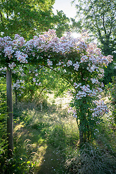 Rosa 'Francis E. Lester' AGM growing over a wooden arch in a wild area of the garden