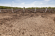 Cracked earth in front of grape vineyard. Rod Cardella runs Cardella Winery, a family business since 1969, which grows almonds, broccoli and other crops as well as grapes. With the high price of water in recent years, Rod has turned to technology and drip irrigation to lower water usage and like many other farmers is planting high value crops such as almonds. Fresno County, San Joaquin Valley, California, USA