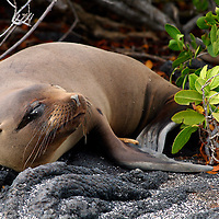 South America, Ecuador, Galapagos Islands. Galapagos Sea Lion on Fernandina Island.