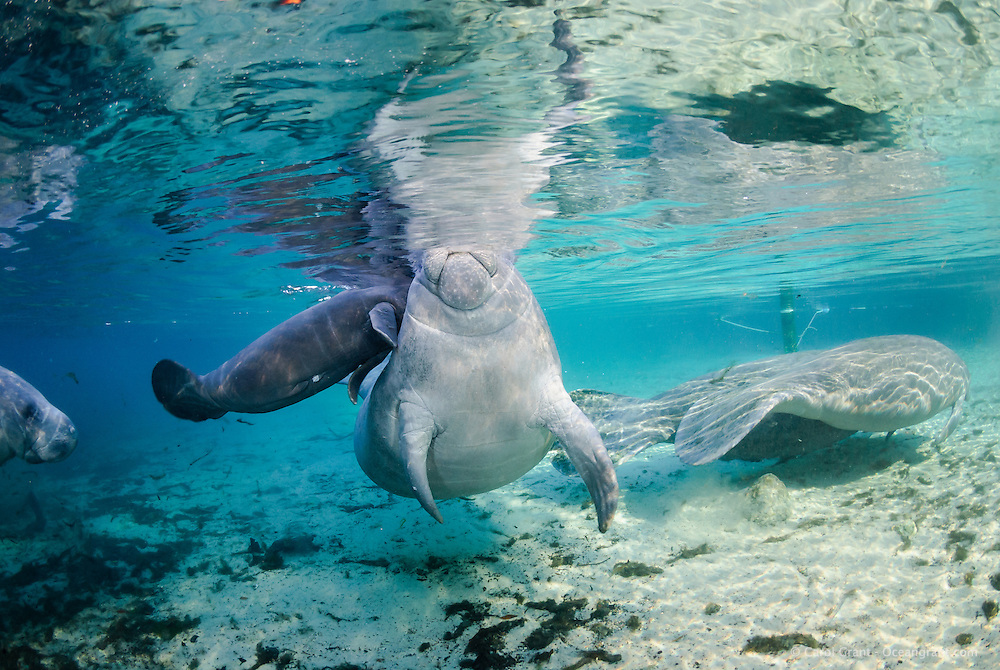 Florida manatee, Trichechus manatus latirostris, a subspecies of the West Indian manatee, endangered. February 29, 2008, rare series of the documented first day of a newborn male manatee calf that takes place out front of Three Sisters in the shallow waters in front of the manatee sanctuary. The rare event begins about an hour after sunrise. No other people, besides myself, came for almost an hour so this depicts natural manatee behaviors. It was an unusually cold, late winter morning. The escort female pushes the newborn male calf up to the surface to breathe. Another curious female manatee is entering on the left. The mother manatee is guiding a curious male manatee away on the right. Horizontal orientation with mixing blue, aqua and green waters, lit by rainbow sun rays. Three Sisters Springs, Crystal River National Wildlife Refuge, Kings Bay, Crystal River, Citrus County, Florida USA.