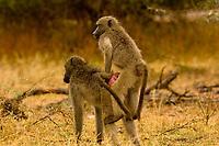 Baboons mating, Kruger National Park, South Africa