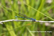 06084-00108 Springwater Dancer (Argia plana) in fen Washington Co. MO