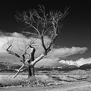 Burnt Cottonwood - North Bishop, CA - Black & White