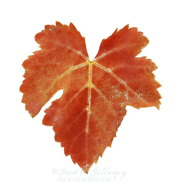 Shiraz Leaf at Harvest