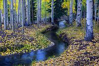 Intimate stream meandering through aspen grove in peak autumn color, Colorado, USA