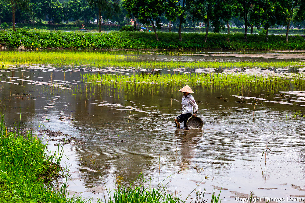 Asian Farmer walking with her planting basket in a muddly rice paddy field. This is close to Tam Coc attractions. RAW to Jpg