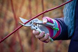 Using secateurs to prune a Cornus sanguinea - Dogwood