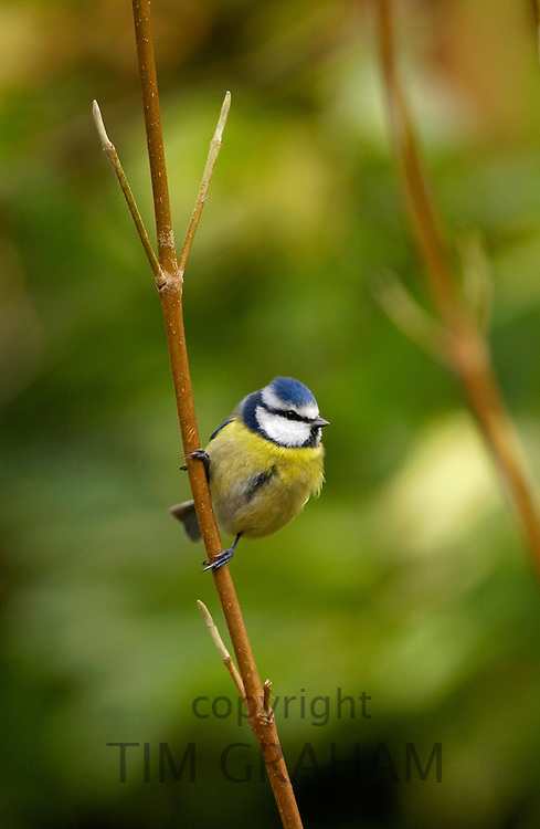 Blue tit on branch in English country garden in the Cotswolds, Oxfordshire