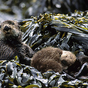 Sea Otter adult and baby resting among seaweed-covered rocks in southwest Alaska.